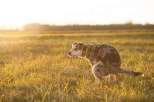 dog, grass, defecating