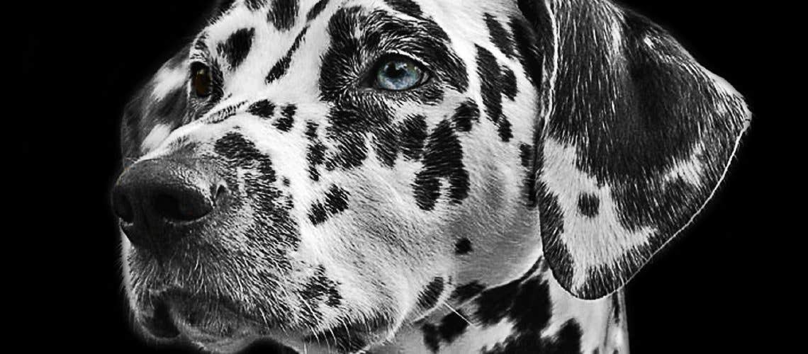 animal-dalmatian-dog-36436
